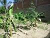 Plan-Verde-Versuchgarten-Banane-Moringa