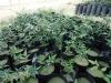Testdüngung mit EMKO auf Melonen