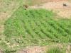 Bodenverbesserung mit Alfalfa