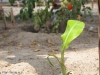 Bananenbaby-Plan-Verde-e.V.
