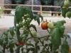 Tomaten-Plan-Verde-e.V.